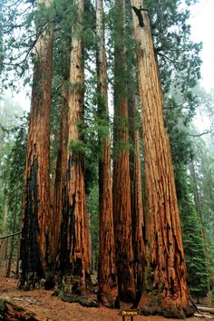 """expressions-of-nature: """"A damp Senate / Sequoia National Park, CA : sjb5"""""""