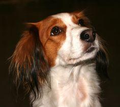 Lovely Kooikerhondje dog photo