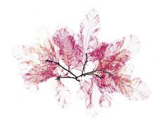 Nick Knight FLORA 1 Flora by Nick Knight nick knight herbarium flora Nick Knight Photography, Safari, Peter Saville, Leaf Art, Botanical Art, Pretty In Pink, Illustration Art, Artsy, Artwork