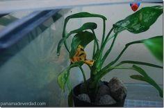En diciembre se espera el nacimiento de ranas doradas en cautiverio - http://panamadeverdad.com/2014/09/19/en-diciembre-se-espera-el-nacimiento-de-ranas-doradas-en-cautiverio/