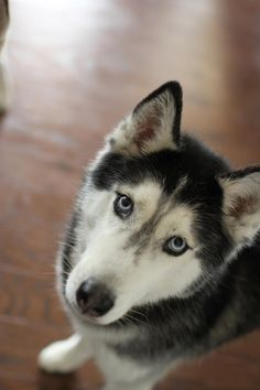 Mishka the Talking Husky!  <3  I love this dog!!