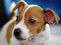 Image from http://www.dooziedog.com/dog_breeds/images/full/Jack-Russell-Puppy-2.jpg.