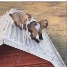 Baby Coco and Buddy boy ?club : Baby Coco and Buddy boy ? Funny Animal Videos, Funny Animal Memes, Cute Little Animals, Cute Funny Animals, Cute Goats, Funny Goats, Fluffy Cows, Cute Animal Pictures, Cute Creatures