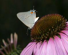 Hairstreak butterfly nectaring on purple coneflower in butterfly garden designed by Brent Knoll of Knoll Landscape Design