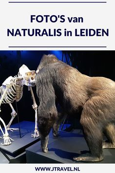 In Leiden bezocht ik Naturalis. In Naturalis beleef je de wonderlijke wereld die natuur heet. Ga op ontdekkingstocht in zeven tentoonstellingszalen vol met het mooiste uit de natuur en ga op zoek naar T. rex Trix. Mijn foto's die ik maakte in Naturalis in Leiden zie je hier. Kijk je mee? #naturalis #naturalisleiden #leiden #museum #museumkaart #jtravel #jtravelblog #fotos