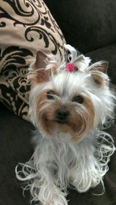 Cutie so foo-foo but alas chi-chi to the max! #yorkshireterrier