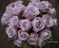 Purple Haze Rose