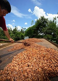 drying harvested cacao beans, La Loma Jungle Lodge & Chocolate Farm, Panama
