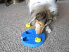 Collie Dog Solves Dog Toy Puzzle Game