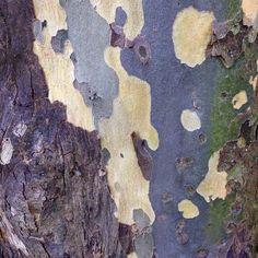 Sycamore tree bark. image: Finest Hour Vintage