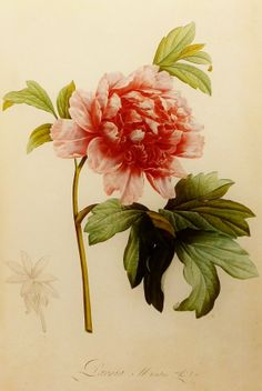 Mountain Peony, Redoute Flower Print, 19th Century Artist, Botanical Illustration (Red Flower Book Plate No. 111)