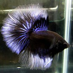 black blue white butterfly hm Exotic Animals, Exotic Pets, Aquascaping, Half Moons, Betta Tank, Cool Fish, Beta Fish, Fish House, Siamese Fighting Fish
