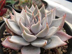 Echeveria cuspidata Menchaca 20 seeds Rare Cactus by Seedsplace
