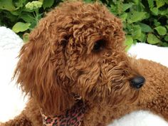 #vetsminster The Standard Poodle is over 15 inches at the highest point of the shoulders.