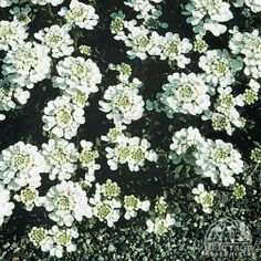 Evergreen Candytuft is a spring blooming favourite, often seen cascading over rocks and walls, or used as a groundcover. The glossy, evergreen foliage forms a compact mound. This selection offers loads of good-size. Full Sun Perennials, Shade Perennials, Deer Resistant Garden, Hillside Garden, Sandy Soil, Landscaping Plants, Spring Garden, Evergreen, White Flowers