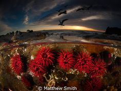 Red Waratah Anemones. What I really love about over/under photographs is that it gives the underwater element a sense of place. For the viewer it marries the underwater environment with our own familiar world. It links the unknown with the known.