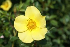 Baby Love - Ludwigs Roses | A yellow rose which is absolutely healthy & grows to a respectable height of 1.1m & app. 1m wide. 'Baby Love' is covered with medium sized, open flowers of a virtually unfading yellow on a backdrop of deep green, glossy, medium sized foliage. Plant it on its own, as a hedge or in a group. It will dazzle in a large pot.