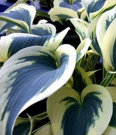 "Hosta 'Blue Ivory"" - Want! Intersperse with green hostas in back! Shade Garden Plants, Hosta Plants, Shade Perennials, Hosta Varieties, Heuchera, White Gardens, Plantar, Lavender Flowers, Outdoor Plants"