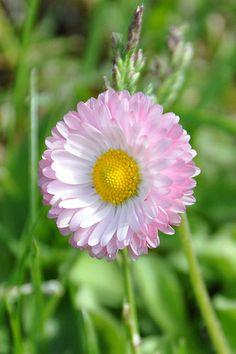 #Gänseblümchen Daisy #Bellis perennis.  www.swisshealthmed.de Labor für Hormonanalysen aus dem Speichel, einfach von zu Hause aus!