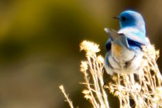 Mountian Blue Bird Blue Bird, Wildlife, Animals, Animales, Animaux, Animal, Animais