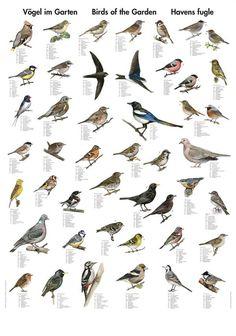 Planche: Havens Fugle
