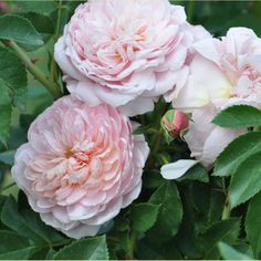 """Colette ®. The rose has a great soft pink look to it with an outstanding sweet fragrance, although some people consider it more of a spicy musk like tea or even closer to a damask. It will bloom continuously from May all the way until the first freezing of the season. The big blooms and numerous frills give it a great antique look. Makes a great cut flower. Can be grown on trellises, arbors or arches. Very disease resistant. Petals 135-140, bloom 3 1/4"""","""