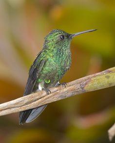 Amazilia saucerottei - STEELY-VENTED HUMMINGBIRD 32 by jjarango, via Flickr
