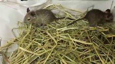 宮城でデグーマウスをお探しならペットショプ鈴花