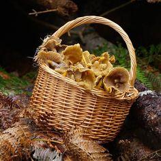 Terveisiä sienimetsästäForaging funnel chanterelles . . . #sieni #suppis #suppilovahvero #sienimetsä #syksy #lähiruoka #villiruoka #metsänaarteet #metsänantimet #luomuruoka #ruokakuva #nelkytplusblogit #foraging #mushrooms #funnelchanterelles #forest #forestgold #fall #autumn #localfood #vegetarianfood #ecologicalfood #ecological #sundayfunday