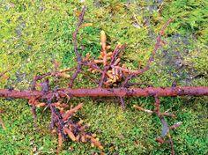 Zduřelé mykorhizní kořínky na smrku jsou společným orgánem rostliny a houby Mushroom Fungi, Garden Tools, Stuffed Mushrooms, Stuff Mushrooms, Yard Tools