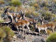 Cabras montesas de La #Alpujarra. I Love Alpujarra
