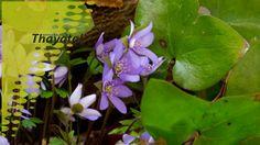 Von März bis Mai haben in den Laubwäldern des Nationalparks Thayatal die Frühjahrsblüher das Sagen. Diese meist kleinen Pflänzchen schaffen es in einer ansonsten noch winterkahlen Landschaft bunte, intensiv duftende Blütenteppiche auf den Waldboden zu zaubern. Eine farbenfrohe Besonderheit der gemäßigten Breiten und ein wahrer Augenschmaus! Nationalparks, Bunt, Plants, Landscape, Pictures, Plant, Planets