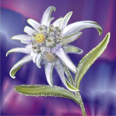 цветок эдельвейс фото