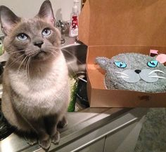 Coco Cake Land - Cakes Cupcakes Vancouver BC: Ziggy The Cat Starring In: Cat Cake!