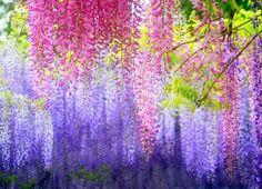 fleures de glycines de couleurs différentes