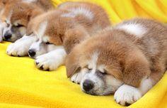 秋田犬の赤ちゃん、こっちへおいで【モフモフ画像集】 | The Huffington Post
