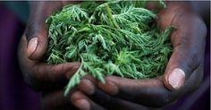 """De acordo com pesquisa publicada no jornal """"Life Science"""", a artemisinina, um derivado da planta losna ou absinto (Artemisia annua), muito usada na medicina chinesa, pode matar 98% das células de câncer do pulmão em menos de 16 horas."""