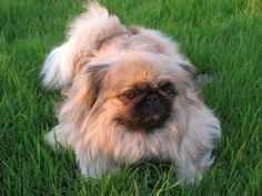 Exercise with your Pekingese!