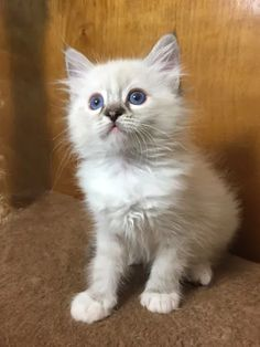 Welcome to Genotype Cats - Ragdoll Cats Ragdoll Cats, Kittens, Shop, Animals, Cute Kittens, Animaux, Animal, Baby Cats, Animales
