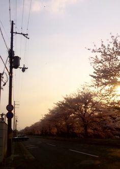 高野川沿いの桜。 もうすぐ桜の時期も終わりかな。。