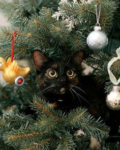 The cat climbed up into the Christmas tree and made herself comfortable. She batted both of the ball ornaments off and took a few more with her as she c. Cat in a Christmas Tree Black Christmas, Cat Christmas Tree, Christmas Kitten, Christmas Animals, Beautiful Christmas, Xmas Trees, Christmas Things, Christmas Greetings, Christmas Holiday