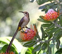 Male Cape Sugarbird :: {at the Kirstenbosch National Botanical Gardens, South Africa} by Bethany Tracy Protea Art, Protea Flower, Flowers, Pretty Birds, Beautiful Birds, South African Birds, National Botanical Gardens, Cape Town South Africa, Australian Birds