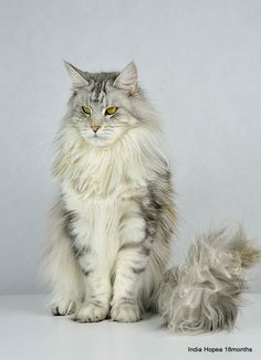 Shedoros India Hopea-Indi - 01-05-DSC_0133.JPG http://www.mainecoonguide.com/maine-coon-temperament/