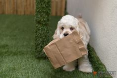 Brown Bagging it Today. - Gus The Silver Cocker Spaniel - www.silvergus.com
