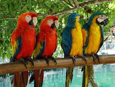 PARROTS  Parrots, also known as psittacines, are birds of the roughly 372 species in 86 genera that make up the order Psittaciformes, found in most tropical and subtropical regions