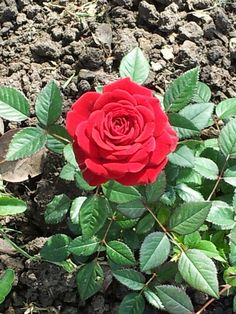 Red rose under the sun