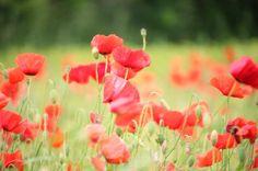 Lover at det bliver sidste valmuebillede for i år... #fyn #nature #visitdenmark #naturelovers #natur #denmark #danmark #dänemark #landscape #nofilter #assens #mitassens #sonnenshein #opdagdanmark #fynerfin #assensnatur #vielskernaturen #motivation #visitassens #instapic #picoftheday #june #blomster #flora #valmuer #sommer #flowers