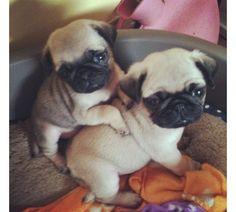 I love pugs!!!