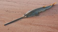Fishing, Chinese medicine, and a crazy-looking snout are driving sawfish to extinction - Quartz