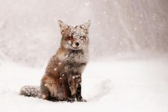 Fairytale Fox ~ Red #Fox In A #Snow Storm by Roeselien Raimond #funny